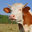 Head of a cow against a pasture - Photo