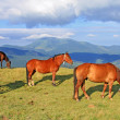 Horses on a summer pasture - Photo