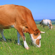 Cows on a summer pasture — Stock Photo #21609695