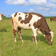 The calf on a summer pasture — Stock Photo #21609703