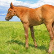 Foal on a summer pasture — Foto Stock