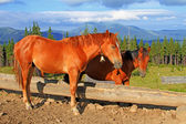 Horses on a summer mountain pasture — Stock Photo
