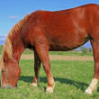 Horse on a summer pasture — Stock Photo #21797247