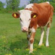 The calf on a summer pasture — Stock Photo #22027063