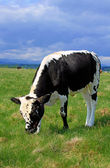 The calf on a summer pasture — Stok fotoğraf