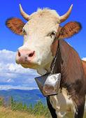 Vaca em um pasto de montanha de verão — Fotografia Stock