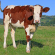 The calf on a summer pasture — Stock Photo #22163719
