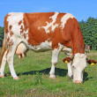 Cow on a summer pasture — Stock Photo #22163747