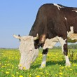 Cow on a summer pasture — Stock Photo #22257545