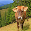 The calf on a summer mountain pasture — Stock Photo #22257583