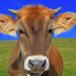 The calf on a summer pasture — Stock Photo #22257585