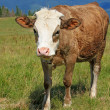 The calf on a summer mountain pasture — Stock Photo #22257607