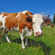 Cow on a summer pasture — Stock Photo #22302103