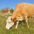Cows on a summer pasture — Stock Photo #22302105