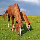 Foal with a mare on a summer pasture — Stockfoto