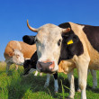 Cows on a summer pasture — Stock Photo #22562641