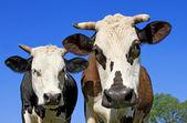 Vaches dans un pâturage d'été — Photo