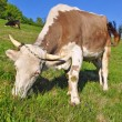 Cow on a summer pasture — Stock Photo #22819358