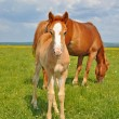 Foal with a mare on a summer pasture — Stock Photo #22819366