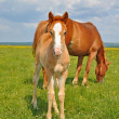 Foto Stock: Foal with mare on summer pasture