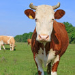 Cow on a summer pasture — Stock Photo #22819430