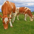 Cows on a summer pasture — Stock Photo #22819444