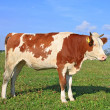 The calf on a summer pasture — Stock Photo #22819488