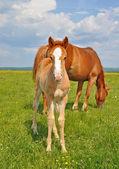 Potro com uma égua em uma pastagem de verão — Foto Stock