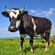 Cow on a summer pasture — Stock Photo #22862136