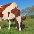 Stock Photo: Cow on a summer pasture