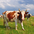 Cows on a summer pasture — Stock Photo #22862164