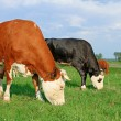 Cows on a summer pasture — Stock Photo #22862184
