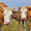 Cows on a summer pasture — Stock Photo #22899574