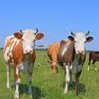 Cows on a summer pasture — Stock Photo #22899640