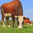 Cows on a summer pasture — Stock Photo #22899744