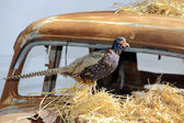 Old rusty car wreck on the mask with pheasant — Stock Photo