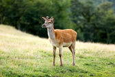Young fawn deer on a meadow in summer — Stock Photo