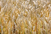 Ripe wheat on the field — Stock Photo