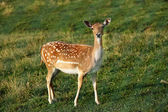 Whitetail deer fawn on a meadow in summer — Stock Photo