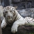 Stock Photo: White Tiger