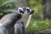 Lemur king — Stock Photo