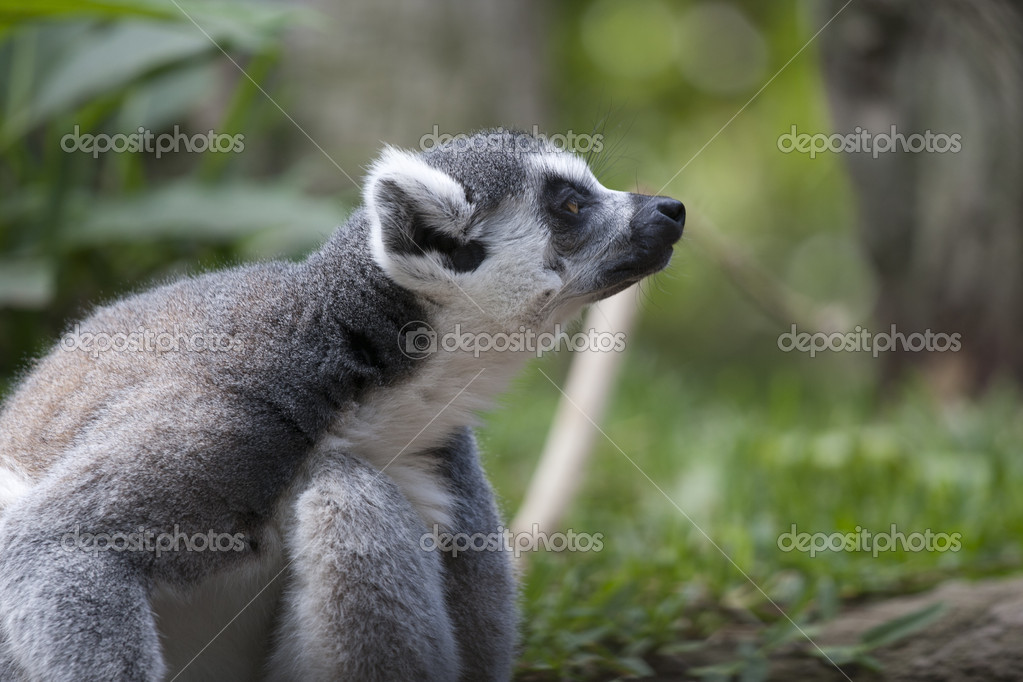 A small lemur attentive to potential predators — Stock Photo #12702253