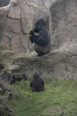 Silverback and baby — Stock Photo