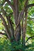 Large oak with vine — Stock Photo