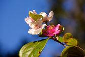 Virginia rose or dog rose — Stock Photo