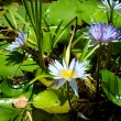 Blue lotus flowers or water lilies - Stock Photo