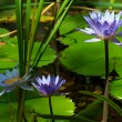 Blue water lilies or lotus flowers - Stock Photo