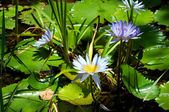 Blue lotus flowers or water lilies — Stock Photo