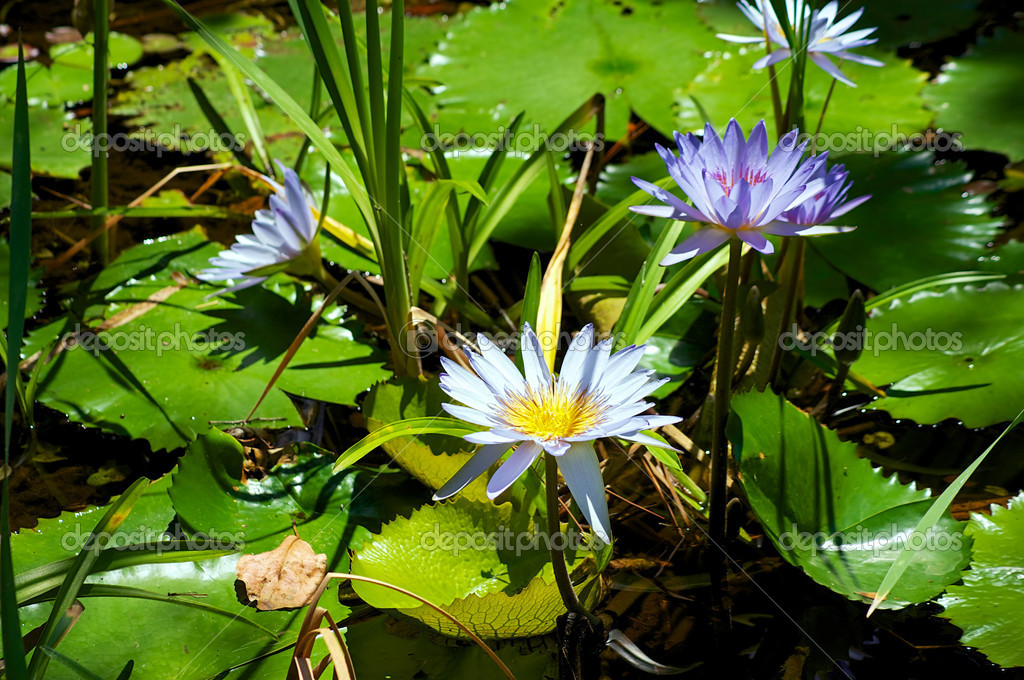 Blue water lilies or lotus flowers surrounded by lily pads. — Stock Photo #18186501