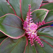 Stock Photo: Bromeliad in bloom